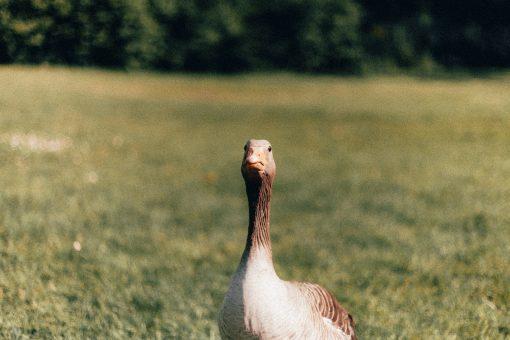 foie gras - eendenlever - verboven