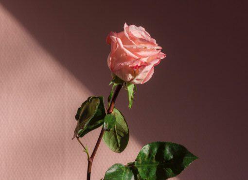 valentijnsdag singles - alleen valentijnsdag vieren - single met valentijnsdag - roos