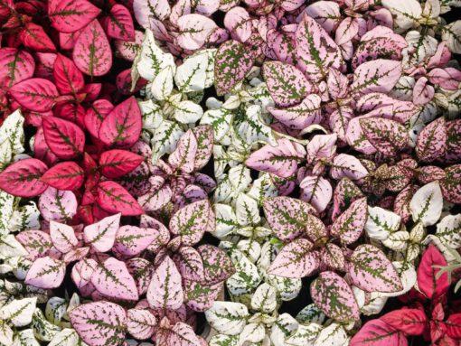 roze planten - roze kamerplanten - kamerplanten - gekleurde planten - roze bloemen - planten voor in huis