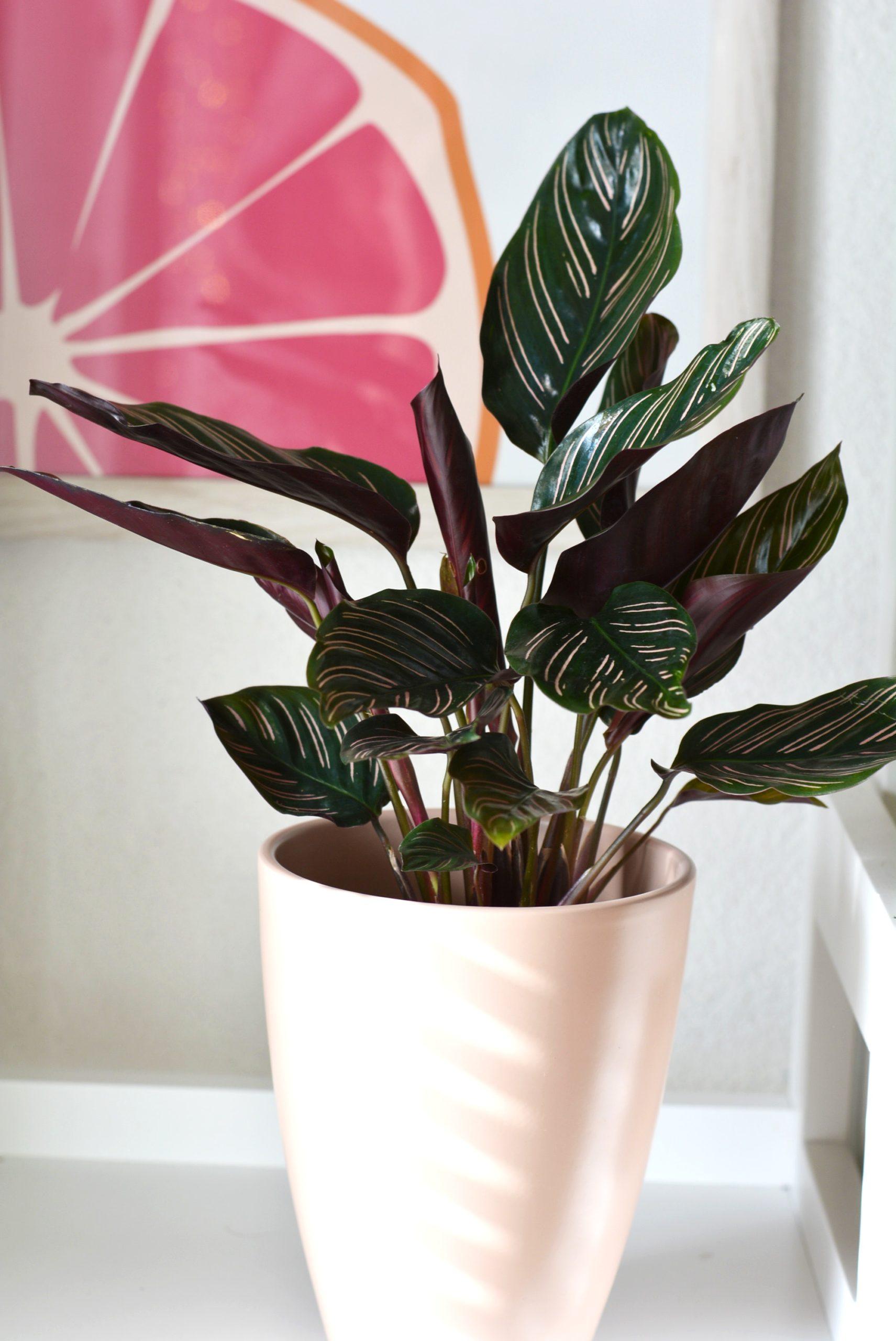 roze planten - mooiste binnenplanten