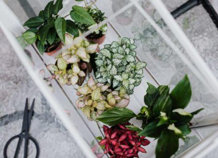 roze planten - roze kamerplanten - kamerplanten - gekleurde planten - roze bloemen - planten voor in huis - roze planten butien
